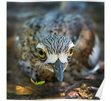 Bush Stone Curlew sitting Poster