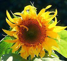 Sunflower by MrJohnny68