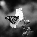 Infrared Butterfly by Gail Falcon
