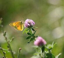 Yellow Butterfly Pink Clover by emjaynie
