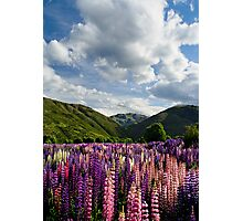Lupin Field Photographic Print