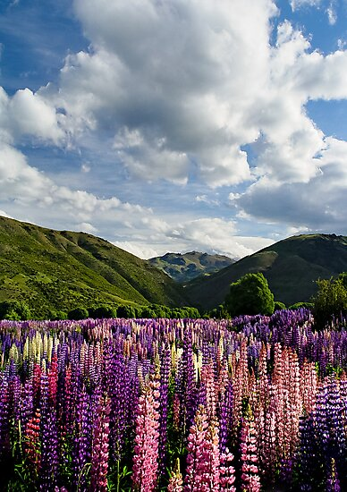 Lupin Field by Dave Lloyd