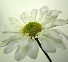 Summer Daisy - 1 by Gloria Abbey