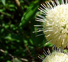 Buttonbush - Cephalanthus occidentalis by Marcia Rubin