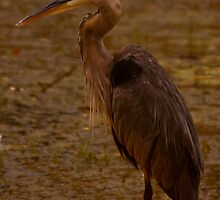Great Blue Heron - Part 2 by Josef Pittner