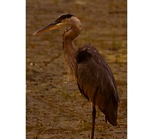 Great Blue Heron - Part 2 Photographic Print
