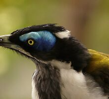 BLUE FACED HONEY EATER by Wayne Dowsent