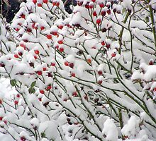 Snowy Rose Hips by Christine Sullivan
