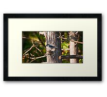 Nuthatch of the Jack Pine Framed Print