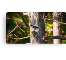 Nuthatch of the Jack Pine Canvas Print