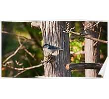 Nuthatch of the Jack Pine Poster