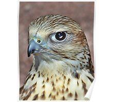 Saker Falcon. Poster