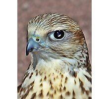 Saker Falcon. Photographic Print