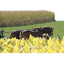 Tobacco Harvest Photographic Print