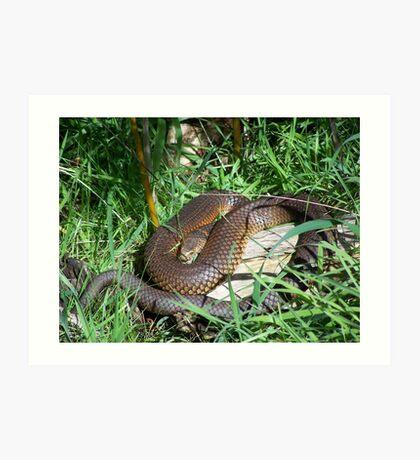 Copperhead Snake Art Print