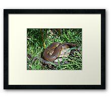 Copperhead Snake Framed Print