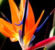 Bird of Paradise by godmommy5