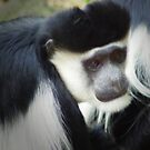 Colobus Monkey by Robyn Maynard