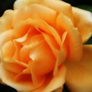 Golden Peach Rose ~ The Orton Effect ~ by Sandra Cockayne