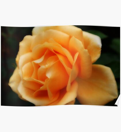 Golden Peach Rose ~ The Orton Effect ~ Poster
