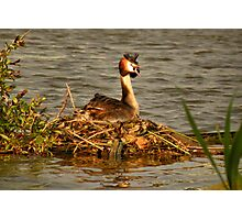 Great Crested Grebe on Nest Photographic Print