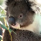 How Much Can A Koala Bear by Dave Cauchi