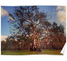 River Red Gums Poster