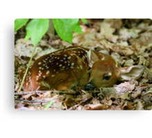 Newborn / White-tailed Deer Fawn Canvas Print