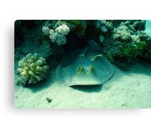 Blue Spotted Ray Hiding Canvas Print