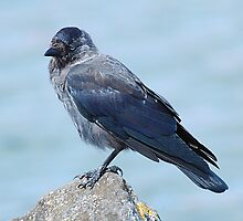 Young Jackdaw by Declan Carr