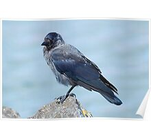 Young Jackdaw Poster