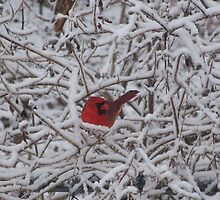 A Dash of Red - Cardinal in Snowy Branches by Hope Grover
