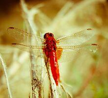 Dragonfly by Iuliana Evdochim