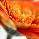 Orange Gerber by JulieLegg