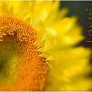 Strawflower by JulieLegg