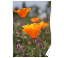 California poppies Poster