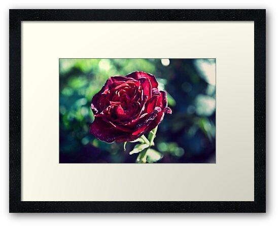 Red Rose by ilva