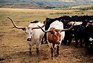 Longhorns by pmreed