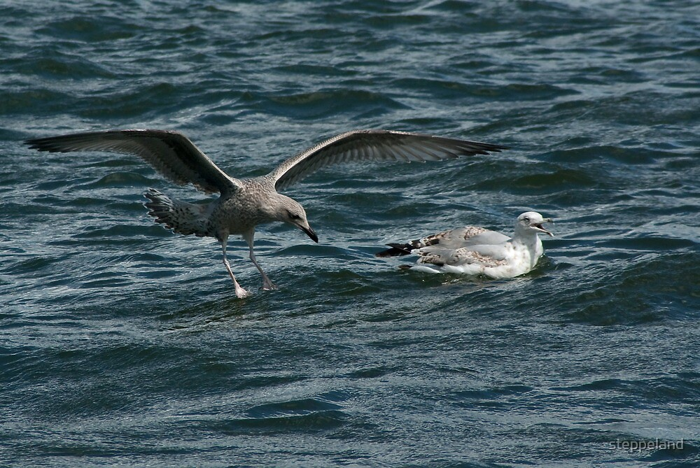 Young gulls on the IJ  by steppeland