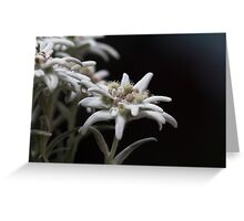 edelweiss in the mountain Greeting Card