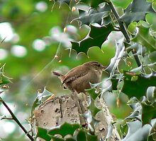 UK wren in a holly tree by Kdfinephotoart