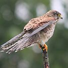 Common Kestrel (Falco tinnunculus)  by DutchLumix