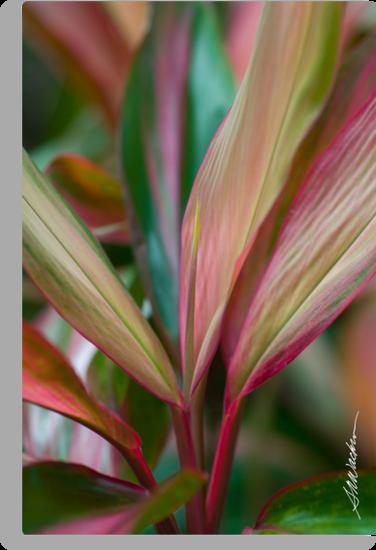 Maui Variegated Red Ti by Susan R. Wacker