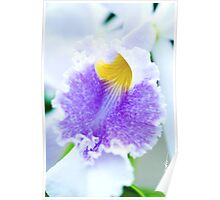 Maui Cattleyas Orchid  Poster