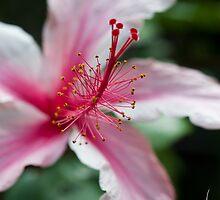 Maui Hibiscus  by Susan R. Wacker