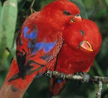 Lory Love by naturalnomad