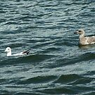 Adult European Herring Gull and juvenile by steppeland