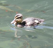Baby Mallard on Fish Pond by Stefanie Köppler