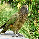 Where did she go! - Kea - New Zealand by AndreaEL