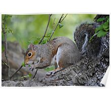A Greedy Squirrel Poster